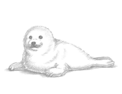 How to Draw a Harp Seal Pup Baby