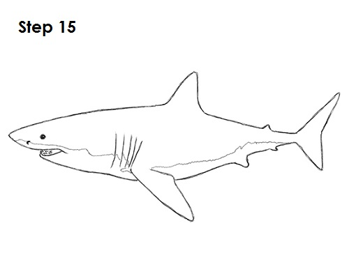 Draw great white shark 15