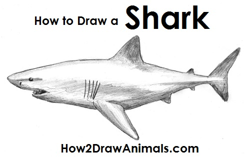 Draw great white shark