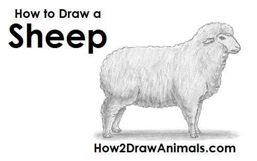How to draw a sheep - photo#13