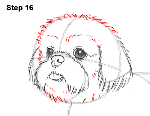 How to Draw a Cute Shih Tzu Puppy Dog 16