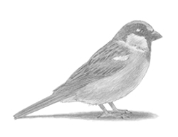 How to Draw a House Sparrow Bird
