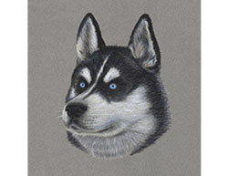 Husky Dog Portrait Special Drawing