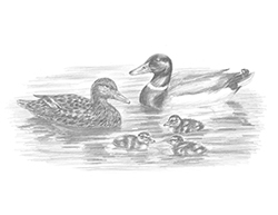Special Mallard Duck Family Drawing Ducklings Water