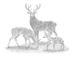 Special Deer Family Drawing Stag Buck Doe Fawn