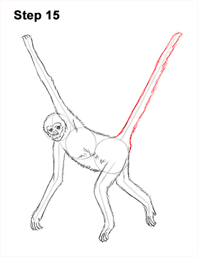 Draw Spider Monkey 15