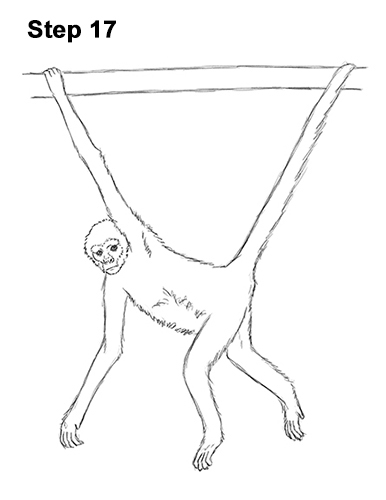 Draw Spider Monkey 17