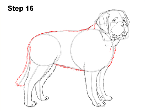 Draw St. Bernard Dog 16