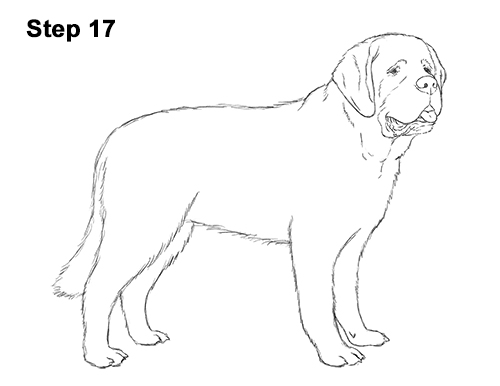 Draw St. Bernard Dog 17