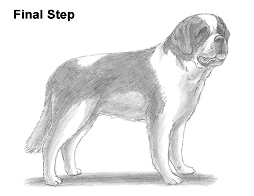 Draw St. Bernard Dog