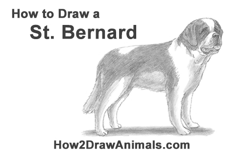 How to Draw a St. Bernard Dog