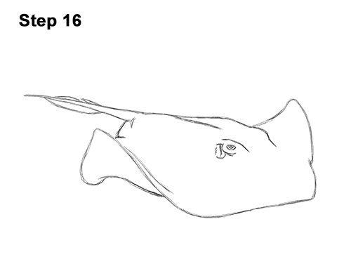 How to Draw a southern common Stingray swimming 16