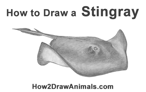 How to Draw a southern common Stingray swimming