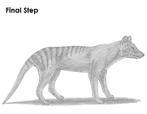 How To Draw A Tasmanian Tiger Thylacine