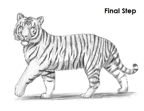 malayan tiger drawing - photo #31