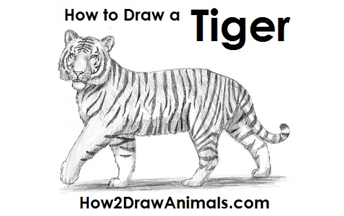+ how to draw atiger
