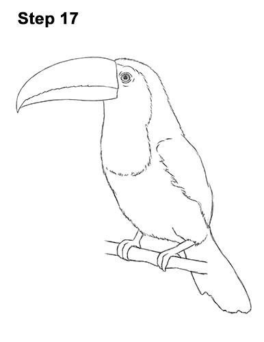 Toucan Bird Drawing Keel Billed Toucan Dra...