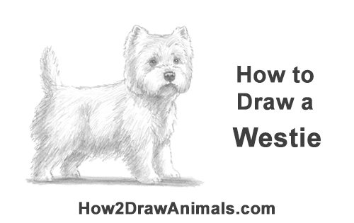 Schnauzer Drawing Easy: How To Draw A Westie Dog VIDEO & Step-by-Step Pictures