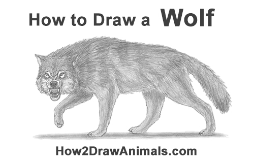 How to Draw a Wolf Snarling