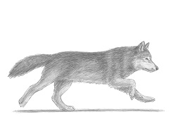 How to Draw a Wolf running