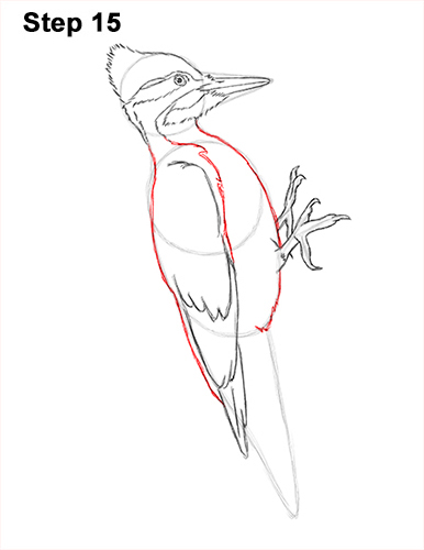 Draw Pileated Woodpecker 15