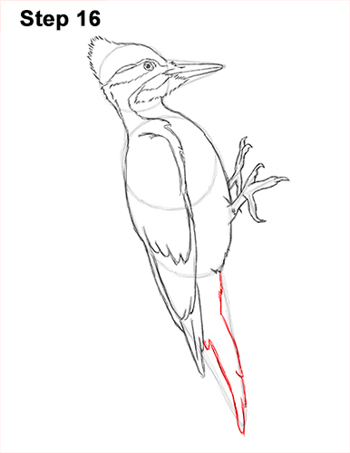 Draw Pileated Woodpecker 16