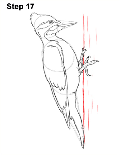 Draw Pileated Woodpecker 17
