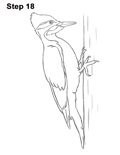 Draw Pileated Woodpecker 18