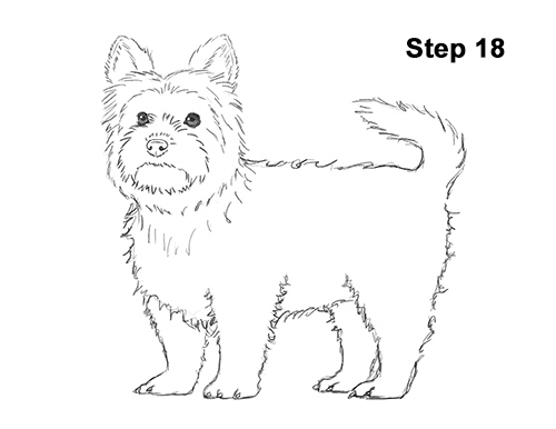Draw Yorkshire Terrier 18