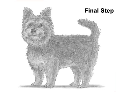 Draw Yorkshire Terrier