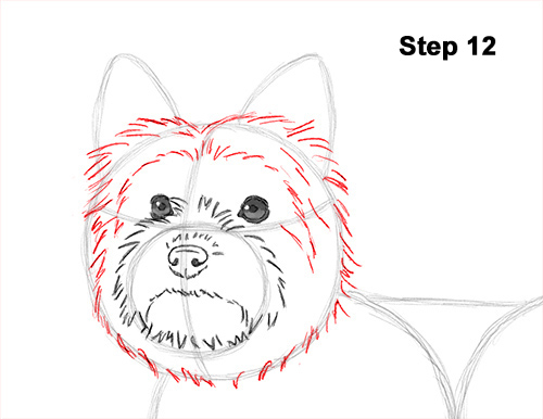 Draw Yorkshire Terrier 12