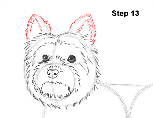 Line Drawing Of Yorkshire Terrier : How to draw a yorkshire terrier dog
