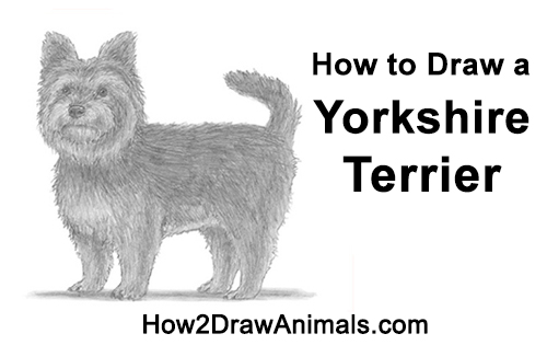 How to Draw a Yorkshire Terrier Dog