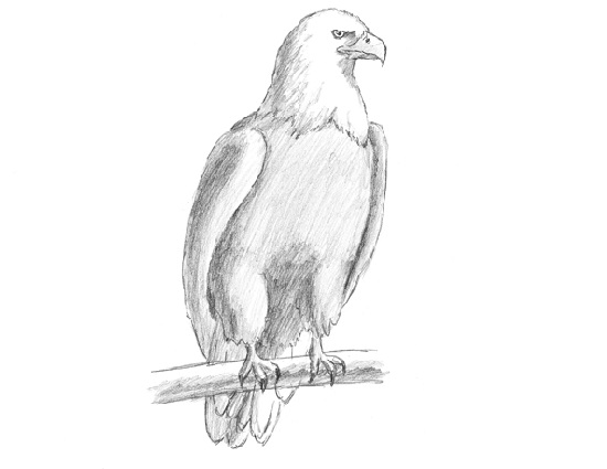 How to Draw a Bald Eagle Bird