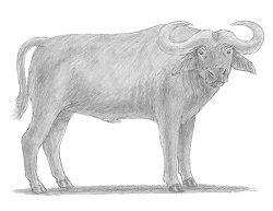 How to Draw an African Cape Buffalo