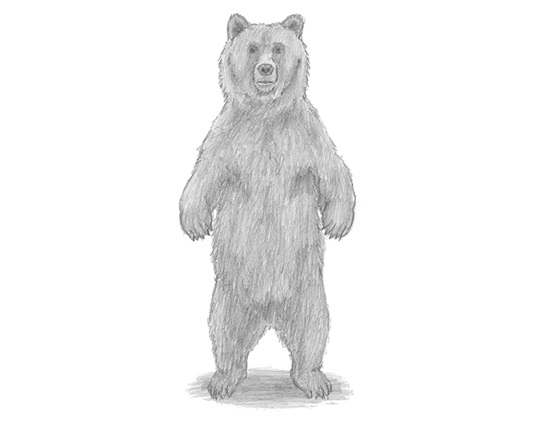 Grizzly Bear Drawing Standing | www.pixshark.com - Images ...