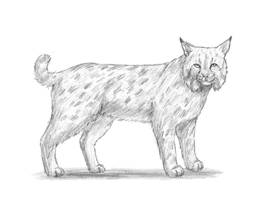 How to Draw a Bobcat