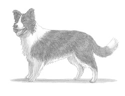 How to Draw a Border Collie Dog