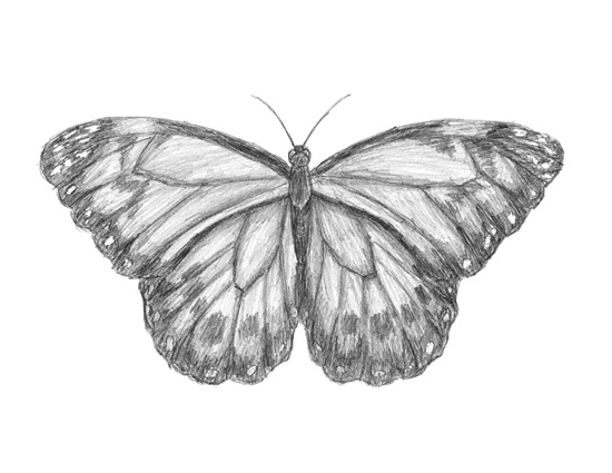Gallery For gt How To Draw A Realistic Butterfly