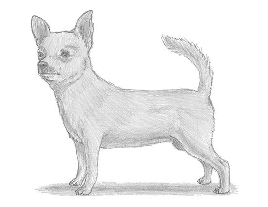 How to Draw a Chihuahua Dog
