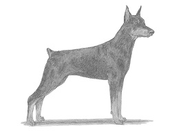 How to Draw a Doberman Pinscher Dog
