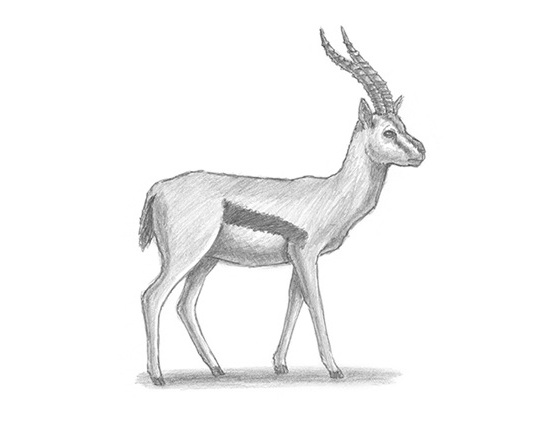 How to Draw a Gazelle