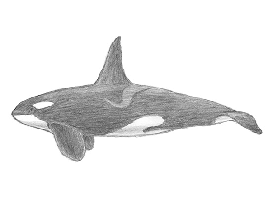 How to Draw a Killer Whale Orca