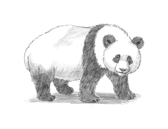 How to Draw a Giant Panda Bear