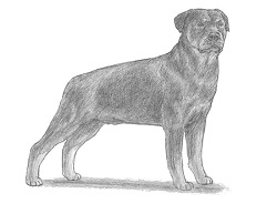How to Draw a Rottweiler