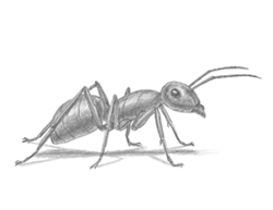 How to Draw a Carpenter Pavement House Ant Insect