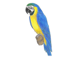 How to Draw a Blue Gold Macaw