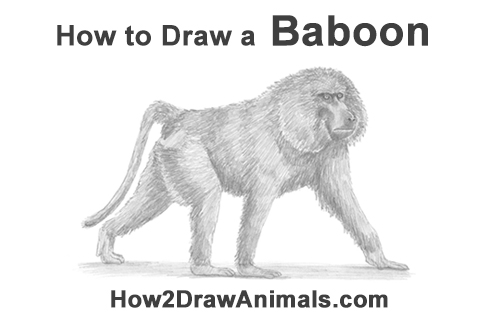 How to Draw an Olive Chacma Baboon Monkey Walking