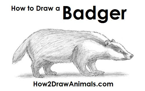 Draw Badger
