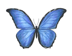 How to Draw a Blue Morpho Butterfly